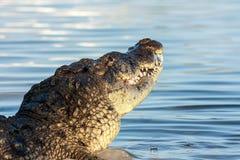 Amerikansk krokodil Royaltyfria Bilder