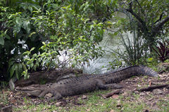amerikansk krokodil Arkivbilder