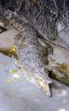 Amerikansk krokodil (Crocodylusacutus) på en Pattaya krokodillantgård Royaltyfria Bilder