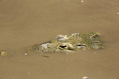 Amerikansk krokodil (Crocodylusacutusen) Royaltyfria Bilder