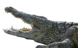 Amerikansk krokodil med den öppna munnen Arkivbild