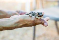 Amerikansk krokodil som ligger på handen Arkivbilder