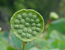 Amerikansk lotusblomma kärnar ur fröskidadetaljen Arkivbilder