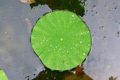 Amerikansk lotusblommablockdetalj Royaltyfri Bild