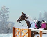 Amerikansk målarfärghäst med tygeln och engelsk sadel i vinter Fotografering för Bildbyråer