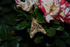 amerikansk malwhite Royaltyfria Bilder