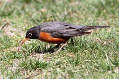 amerikansk migratoriusrobinturdus Royaltyfri Fotografi