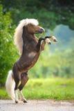 Amerikansk miniatyrhäst som fostrar upp Arkivfoto
