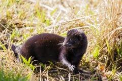 Amerikansk mink - Neovison vison Royaltyfri Fotografi