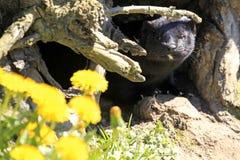 Amerikansk mink/Neovison vison framme av dess håla Royaltyfri Foto