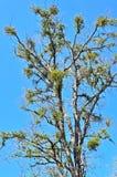 Amerikansk mistel (Phoradendronflavesens) hemsökte trädet Fotografering för Bildbyråer