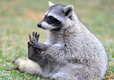 amerikansk nat norr parkraccoon yellowstone Royaltyfri Foto
