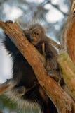 amerikansk norr porcupine Royaltyfria Bilder