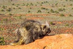 amerikansk norr porcupine Arkivfoton