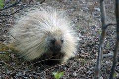 amerikansk norr porcupine Arkivbilder