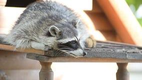 amerikansk norr raccoon stock video