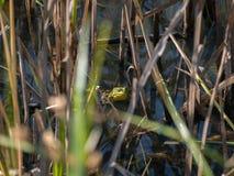 Amerikansk oxgroda i gräset Royaltyfri Foto
