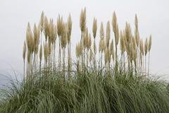 Amerikansk pampasgräs Fotografering för Bildbyråer