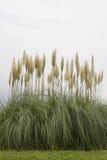 Amerikansk pampasgräs Royaltyfria Bilder