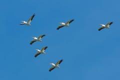amerikansk pelikanwhite Fotografering för Bildbyråer