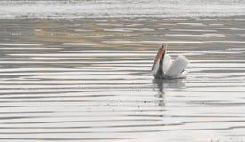 amerikansk pelikanwhite Royaltyfri Fotografi