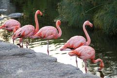 Amerikansk röd flamingopacke i sjön. Royaltyfri Bild