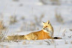 Amerikansk röd räv, i att gå för snö royaltyfri fotografi