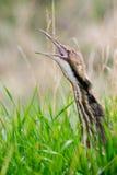 Amerikansk rördrom (Botauruslentiginosusen) Arkivbild