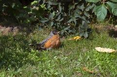 amerikansk robin Royaltyfria Bilder