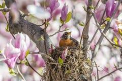amerikansk robin Arkivfoton