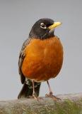 amerikansk robin Fotografering för Bildbyråer