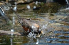 Amerikansk Robin fågelbadning Royaltyfria Bilder