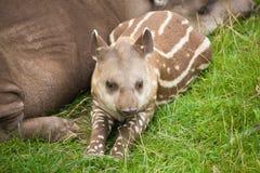 amerikansk södra tapir Fotografering för Bildbyråer