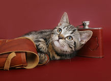 Amerikansk Shorthair kattunge arkivbild