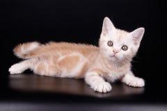 Amerikansk shorthairkatt på kulöra bakgrunder Royaltyfri Foto