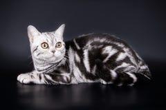Amerikansk shorthairkatt på kulöra bakgrunder Arkivbild