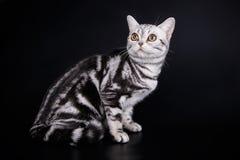 Amerikansk shorthairkatt på kulöra bakgrunder Royaltyfria Foton