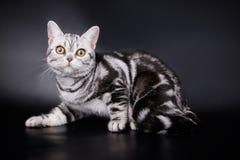 Amerikansk shorthairkatt på kulöra bakgrunder Royaltyfria Bilder