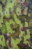 amerikansk skällsycamoretree royaltyfri bild