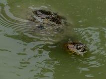 Amerikansk sköldpadda Fotografering för Bildbyråer