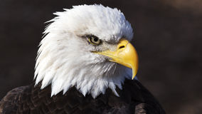 Amerikansk skallig örn royaltyfria bilder
