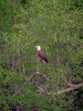 Amerikansk skallig örn som sätta sig i träd royaltyfria foton