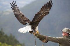 Amerikansk skalliga Eagle landning i Otavalo, Ecuador Royaltyfria Bilder