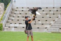 Amerikansk skalliga Eagle landning på falkenerare under den Eagle showen Royaltyfria Bilder
