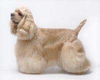 amerikansk spaniel för spishundhusdjur arkivbild
