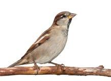 Amerikansk Sparrow Arkivfoto