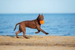 amerikansk spring för gropbull terrier hund på stranden Arkivbilder