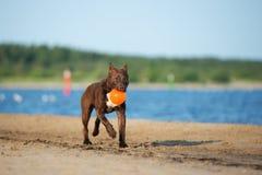 amerikansk spring för gropbull terrier hund på stranden Royaltyfri Foto