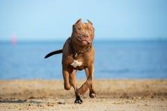 amerikansk spring för gropbull terrier hund på stranden Royaltyfria Bilder