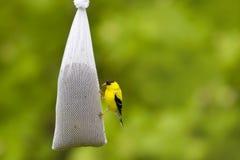 Amerikansk steglits på en fågelförlagematare Arkivfoton